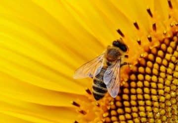 Pourquoi devriez-vous consommer du pollen cru ?